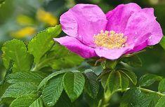 Jak samodzielnie zrobić syrop z płatków dzikiej róży i cieszyć się jego właściwościami zdrowotnymi? Na ten temat przeczytasz w naszym nowym wpisie blogowym. https://oliwka24.pl/syrop-z-platkow-rozy/