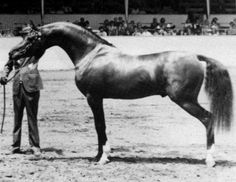 classy mcCoy arabian horse   CLASSY MCCOY