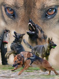 Military and Law Enforcement Working Dogs. Home and Family Protector. The German Shepherd Dog. A friend who serves Humans faithfully.