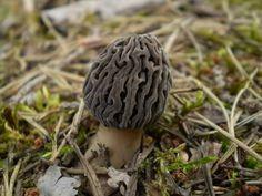 Morchella esculenta var. umbrina