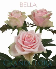 Bella Light Pink Is The Italian Word For Beauty And A Ing Name This Elegant Rose With Its Cream Tones Blending Into Buds That