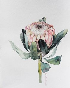 The choice is made by . Art by If you want to get into the tape of , put the tag… Botanical Wall Art, Botanical Drawings, Botanical Illustration, Watercolor Flowers, Watercolor Paintings, Protea Art, Guache, Plant Art, Flower Art
