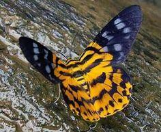Papillon <3 *****