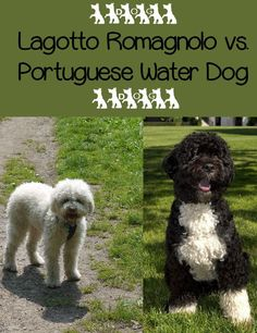 The Lagotto Romagnolo and Portuguese Water Dog are similar in spirit if not in size. Both the Lagotto Romagnolo and PWD make great family companions. Lagotto Romagnolo Puppy, Cute Puppies, Dogs And Puppies, Dog Breed Info, Cat Brain, Cat Vs Dog, Dog Best Friend, Portuguese Water Dog, Dog Mixes