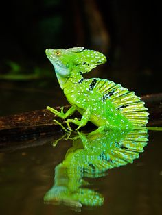 Plumed Basalisk Lizard, Tortuguero National Park, Costa Rica by Sean Crane