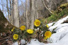 早春の山野草「福寿草」画像 写真 フリー素材