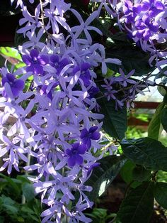 Queens Wreath / Sandpaper Vine / Petrea Volubilis....  Or known to my sister and myself as 'Helicopter' flowers.  This flower represents my childhood!  <3