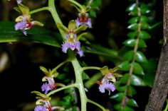 Ornithochilus difformis var. kinabaluensis by epicphals, via Flickr