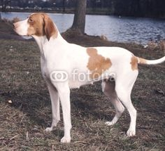 Braque Saint-Germain Pointing Dog puppy
