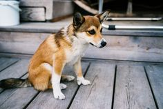 """Norwegian Lundehund. One of the rarest dogs out there... meaning very expensive. They are unique in that they have six toes on each foot, can bend their head back far enough to touch it's back, and it's front legs can can do the  """"splits"""" perpendicular to it's head and parallel to the floor. They are very snuggly, but have a rare tummy disorder that causes MANY trips to the vet for checkups."""