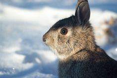 Rabbits and the like can easily walk on top of hardened snow or hop over a snowed-in fence and chew up anything above the snow line, including your winter protection materials.
