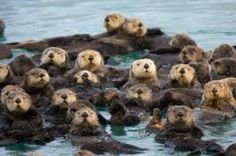 The amazing Sea Otter