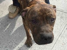 LOWS - #A1088540 - Urgent Brooklyn - MALE BR BRINDLE, AM PIT BULL TER MIX, 5 YRS - stray - no hold REASON STRAY - Intake 09/03/16 Due Out 09/07/16 - TOLERATED HANDLING - CAME IN WITH HULA #A1088539