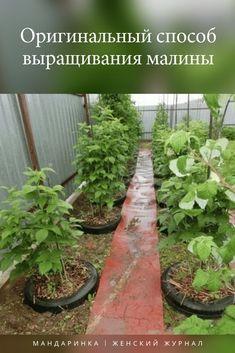 #сад #дача #огород #способ #выращивания #малины