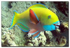 Parrotfish (male)