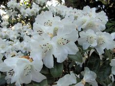 Snow Lady   Rhododendrons Direct