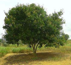 «Мыльные орехи»  — плоды мыльного дерева Сапиндус, родина которого — тропики и субтропики Америки и Азии. Фото: barloventomagico/flickr.com. Лицензия: creativecommons.org/licenses/by-nc-nd/2.0