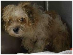 Brooklyn Center JAKE – A1041384 ***NEW HOPE RESCUE ONLY*** MALE, BROWN / WHITE, SHIH TZU MIX, 2 yrs STRAY – STRAY WAIT, NO HOLD Reason STRAY Intake condition EXAM REQ Intake Date 06/24/2015