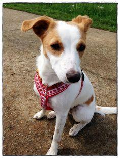 ♥ Y-Geschirr ♥ Kreuzgeschirr, Hund, Geschirr, Mops von LissiFee - Hundehalsbändle & Co. auf DaWanda.com