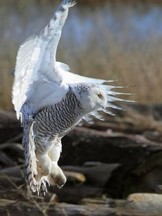 snow owl coming in for a landing