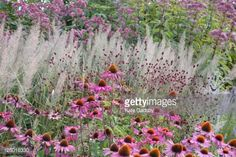 Combination of plants including purple joe pye weed coneflower 'Rubinstern' great burnet 'Tanna' korean feather reed grass Piet Oudolfs Millennium Ga