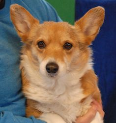 Lady is still forlorn about becoming homeless -- she was found on the Vegas streets with no sign of responsible ownership -- but her spirit is mending.  Lady is a petite Corgi, about 7 years of age, spayed, now debuting for adoption today at Nevada SPCA (www.nevadaspca.org).  She gets along very well with other dogs and seems best suited for a calm home environment.