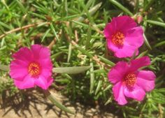 Portulaca Rose Moss - A truly beautiful low growing ground cover type plant is called the portulaca. Look at what is needed for portulaca care in this article so you can enjoy these reseeding beauties year after year. Purslane Flowers, Purslane Plant, Sun Plants, Blooming Plants, Flower Seeds, Flower Pots, Flower Baskets, Comment Planter Des Roses, Portulaca Grandiflora