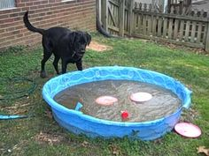 Funny Labrador in the frozen pool with Frisbee!