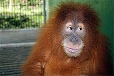 Jarot is an Orangutan that can be released in to the wild again! yay!!