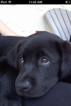 Little lab to cute if u do not like labs labs do not like u