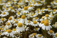 Heřmánek pravý oblíbená léčivá bylinka Dandelion, Garden, Flowers, Plants, Garten, Dandelions, Florals, Gardens, Planters