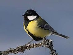 One of Sweden's birds for inspo Beautiful Birds, Beautiful Pictures, Cool Photos, Small Birds, Pet Birds, Parus Major, Common Birds, Great Tit, Closer To Nature