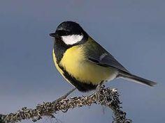 Talitiainen, Parus major - Linnut - LuontoPortti