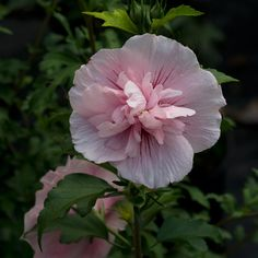 Pink Chiffon rose of Sharon - bred in England from plants collected in the south of France.