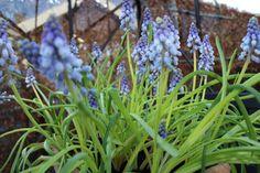 En krukke med skønne perleblomster en dejlig forår bebuder Lige nu står de i orangeri og tager sig godt ud.
