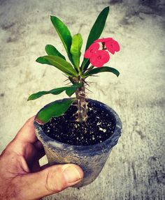 """Cool little """"Crown of Thorns"""" I picked up yesterday grabbed two of them I liked it so much. Kind of a mix between cactus succulent or??? Trippy! Great little flowers. Either way super cool little plant. I dig it. #cactus #succulents #thorns #plant #nature #picoftheday #photooftheday #greenthumb #bonsai #tree #tranquility by _getbusylivin_"""