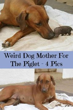 Weird Dog Mother For The Piglet – 4 Pics Funny Animal Pictures, Funny Animals, Crazy Dog, Life Memes, Weird, Funny Memes, Education, Pets, Day