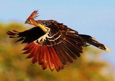 Best Pics of Hoatzin (Opisthocomus hoazin) birds - scary birds Scary Birds, All Birds, Love Birds, Tropical Birds, Exotic Birds, Colorful Birds, Pretty Birds, Beautiful Birds, Beautiful Pictures