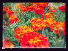 Raccontare un paese: i miei fiori d'autunno...tagete