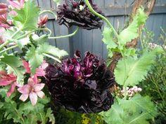 Poppy Peony Black seeds-4u.angelfire.com