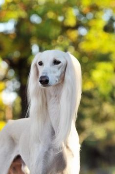 Saluki this type of dog got 2nd in Best of Show at Eukanuba (msp) dog show 2013