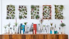 Josh Rosen is Airplantman, and today he's teaching us how to care for our airplants!