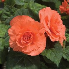 50+ Begonia Double Salmon Flower Seeds , Under The Sun Seeds
