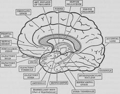 psychology brain anatomy coloring page
