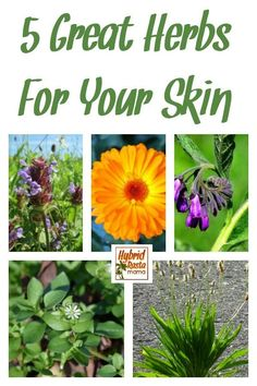Herbs that can help heal, repair and soothe the skin. Using and/or making skin care products with these 5 herbs for your skin can up your skin care game! From HybridRastaMama.com #herbs #herbalremedies #skincare #naturalskincare #comfrey #plantain #chickweed via @hybridrastamama
