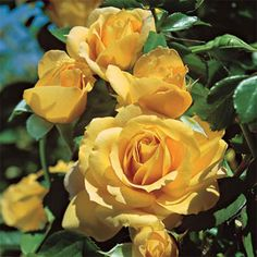 Julia Child™ Floribunda Rose from Weeks Roses: Yellow. Uses: Border, Cut Flowers, Ornamental. Cut Flowers, Pretty Flowers, Rose Foto, Ronsard Rose, Love Rose, Beautiful Roses, Beautiful Butterflies, Garden Plants, Garden Roses