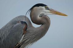 Blue Heron photographed at the Wetlands Institute-Stone Harbor, N.J.
