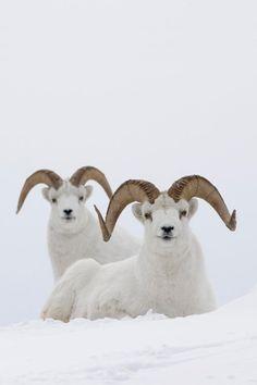 Dalls sheep rams (Ovis dalli), Yukon Canada. Photo by Donald M. Jones. °