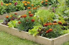 Flowers and vegetable in a raised bed, including, Marigolds, honeycombe, Lettuce, Suzan Beetroot, Solo in an urban garden, Norfolk UK, JUne - Gary K Smith/Photolibrary/Getty Images