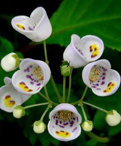 ~Teacup flowers, Jovellana punctata~ by nadine Unusual Flowers, Unusual Plants, Rare Flowers, Exotic Plants, Cool Plants, Flowers Nature, Amazing Flowers, Beautiful Flowers, Lilies Flowers